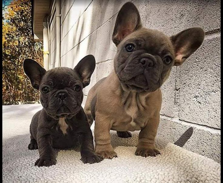 affordable french bulldog 2202 best ava s favs images on pinterest architectual 2958