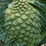 Cycad Cone Encephalartos trispinosus
