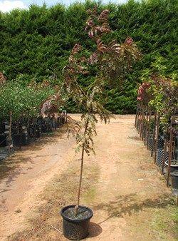 Gleditsia triacanthos Ruby Lace | Purple Honey Locust | Olinda Nurseries | Wholesale nursery Victoria |