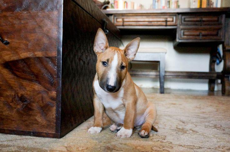 My Heart! Tusker. Miniature Bull Terrier. 8 weeks old. Red + White. Mini Bull Terrier