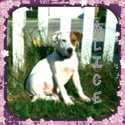 Alice is an adoptable American Bulldog Dog in Dayton, OH. Ali's Story... Alice is an American Buldog mix puppy rescued from a kill shelter. She is approximately 16 weeks old. The shelter planned to eu...