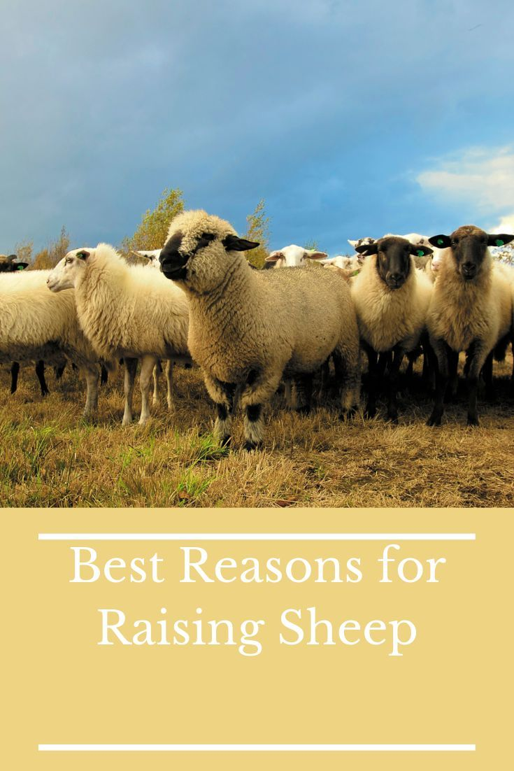 Thinking About Adding New Livestock To Your Farm If So You Should Consider Raising Sheep Sheep Can Be Raised For Milk Raising Farm Animals Sheep Sheep Farm