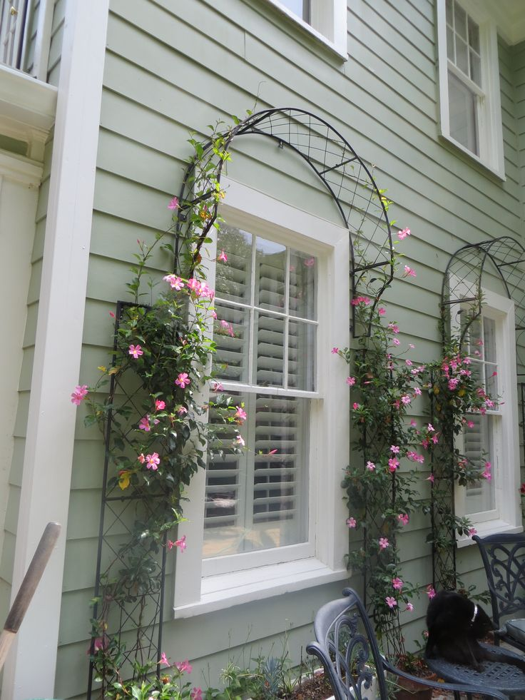 Mandevilla climbing over window trellises on patio Of course the cat adds textural interest