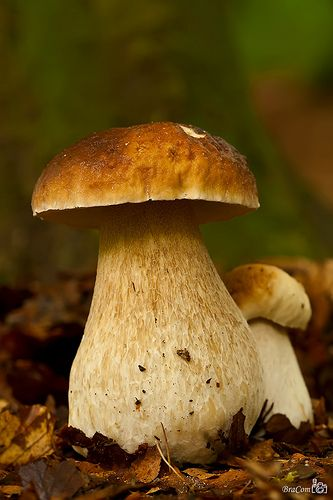 Penny Bun (Boletus edulis) One of our favorites to hunt for, they are delicious and dry well too.