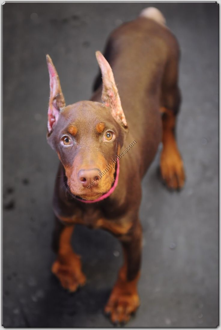 really want to get a doberman.