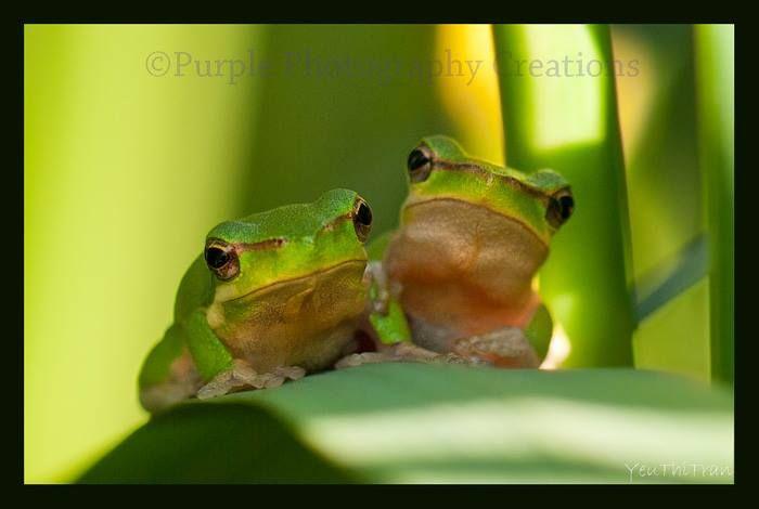 YeuThiTran, The Australian green tree frog, simply green tree frog in Australia. A very cute couple :)