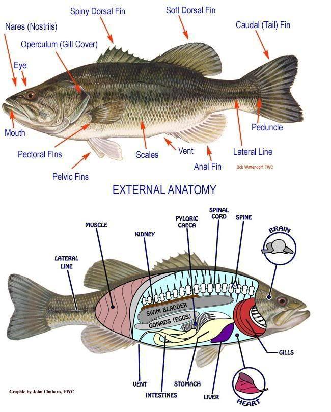External fish anatomy