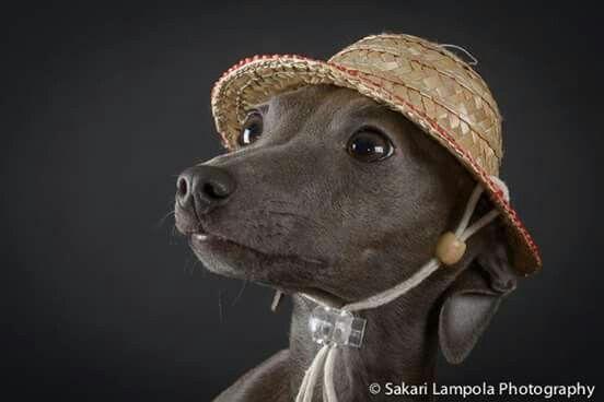 Pharaoh Hound Italian Greyhound Mix 1000+ images about Fun...