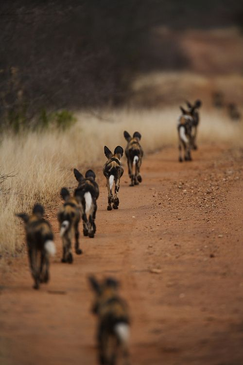 Wild Dog Pups. Try to keep UP! Wait slow down!