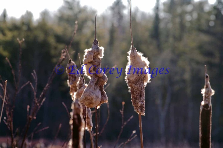 Cattails in the winter at a pond