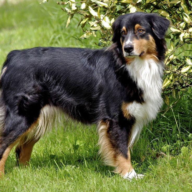 Rottweiler Fall Wallpaper 23 Best Guia De Ra 231 As Cachorros Images On Pinterest
