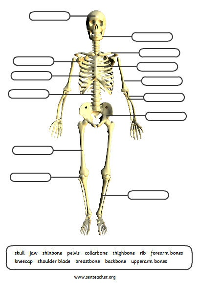 picture regarding Printable Skeleton Parts named Human Skeleton Diagram In direction of Label - Wiring Diagram Schematics