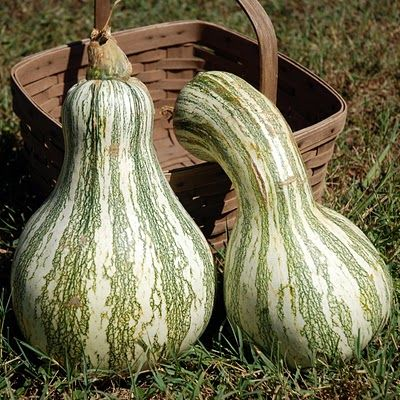 The Cushaw (or Kershaw) Squash, sometimes called a Tennessee Sweet Potato, is an heirloom winter squash grown mostly in the southern United ...