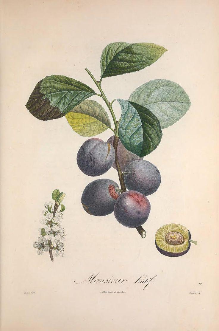 Plum - Illustration by Pierre-Jean Redouté -- From Pomologie Française: Recueil des Plus Beaux Fruits Cultivés en France (1808)