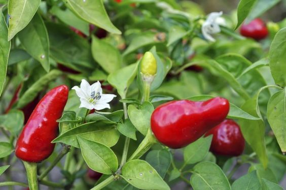 Peperoncini: come si coltivano in vaso sul balcone