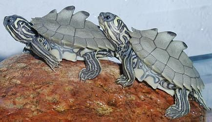 The Black-Knobbed Map Turtle —Graptemys nigrinoda—is a small, aquatic turtle found in the freshwater rivers of Mississippi and Alabama. The ...