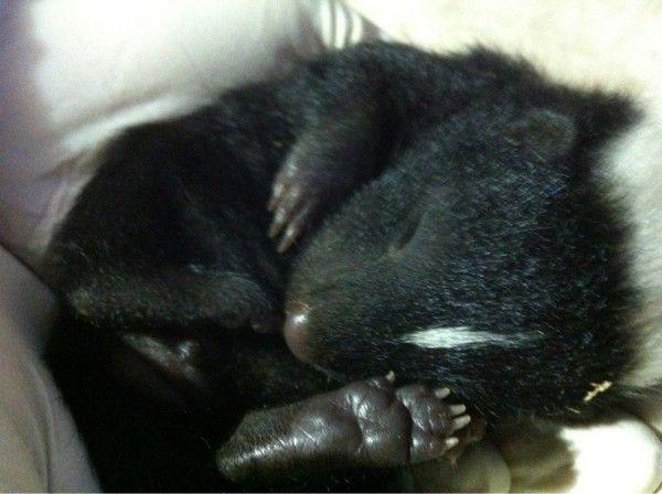 Stinkdier - 15x de schattigste exotische baby dieren  - Nieuws - Lifestyle