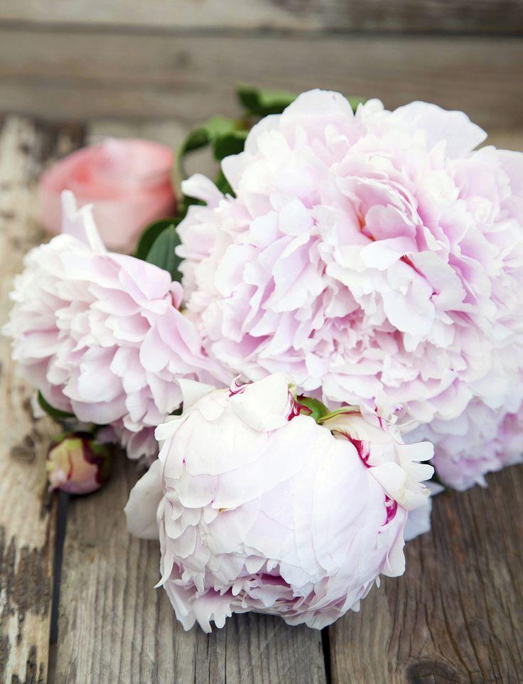 Pioner, denna maffiga blomman som sällan lämnar någon oberörd. Med blommor stora som kålhuvuden (enligt Marc O´Polo) är den effektfull både i rabatten och som snittblomma. Här är 19 fakta om pionen som alla som älskar denna blomma borde känna till.
