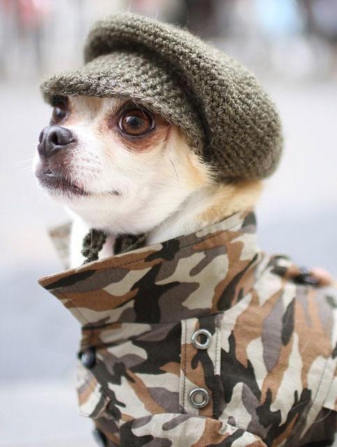 Montjiro the Chihuahua #dogs  #dogoutfits #dogfashion    http://www.petrashop.com/