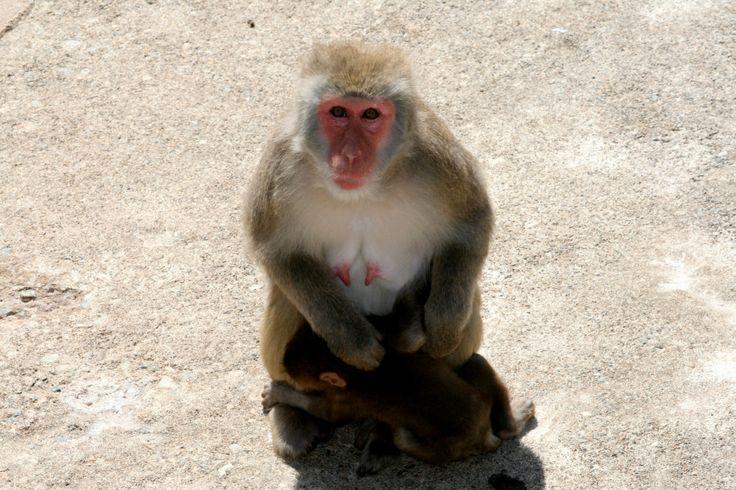 草津熱帯圏9 Japanese monkey