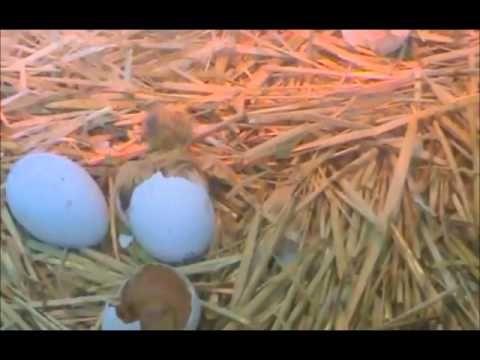 Ahora vamos a ver cómo eclosionan los huevos que puso mamá gallina, y qué grandes esfuerzos hacen nuestros valientes pollitos para salir de ellos.