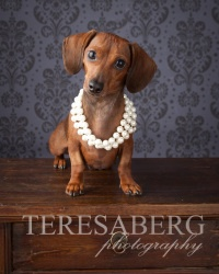 doxie.Hair Cut, Doxie Pearls, Awesome Pin, Rescue Doxie, Classy Doxie