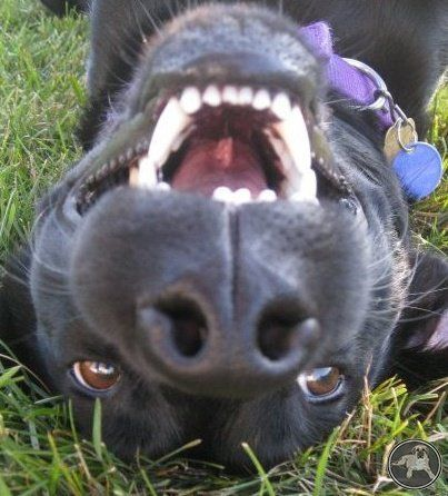 funny black lab laughing!  www.ItsALABthing.com