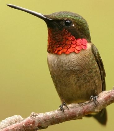Male Ruby Throated Hummingbird like other male Hummingbirds entices his mate with grand, spectacles of flying acrobatics. Discover the wonders of the mating habits of the tiniest birds in the world. From: wildbirdscoop.com