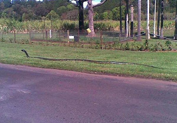 Giant snake flees Mississippi floods- no no no no no. I appreciate snakes but NO.