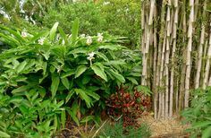 Cardamom Plants In The Garden : Growing Cardamom Plants In Your Garden