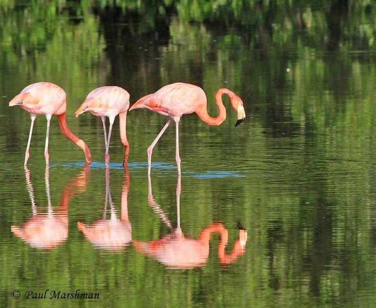 Flamingos Cayo Guillermo - Cuba