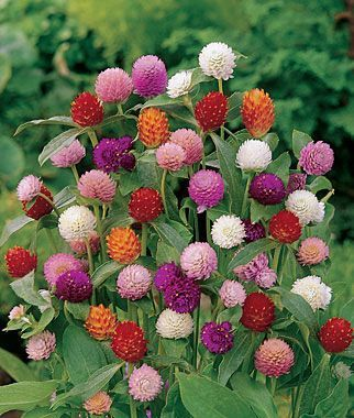 Gomphrena, Qis Mix  Ideal selection for landscaping or bouquets.  QIS Series is an ideal selection for either landscaping or bouquets. Loose, open-branched, and great for cutting beds and midborders. Start indoors 4-6 weeks before setting outside