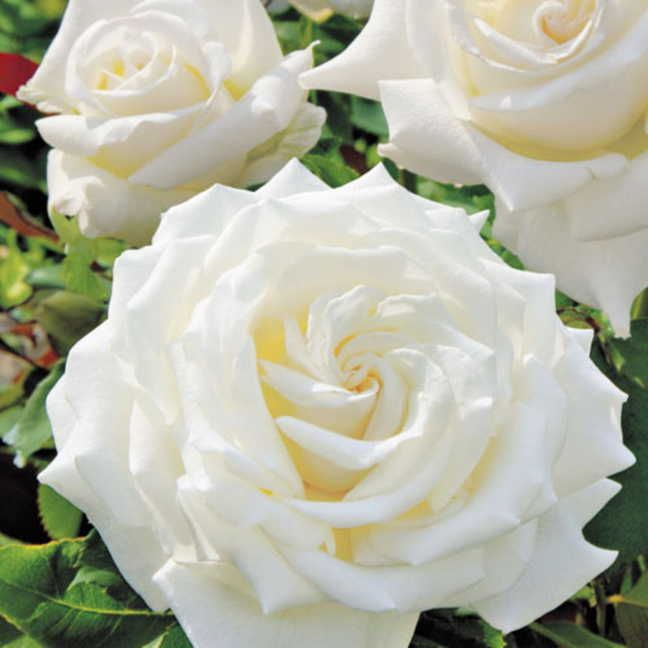 rose pope john paul ii hybrid tea among the finest white roses ever the pope john paul ii rose produces pure luminous white lavishly petaled blossoms