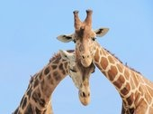 even giraffes know LOVE: Giraffes Photos, Blue Sky, Giraffes Pictures, Animal Giraffes, Random Quotes, Backgrounds, Giraffes Couple, Couples In Love, Couple In Love
