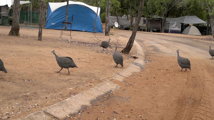 Camping at 'Die Eiland' near Hazeyview in South Africa. Guineafowl running amongst the tents and caravans.