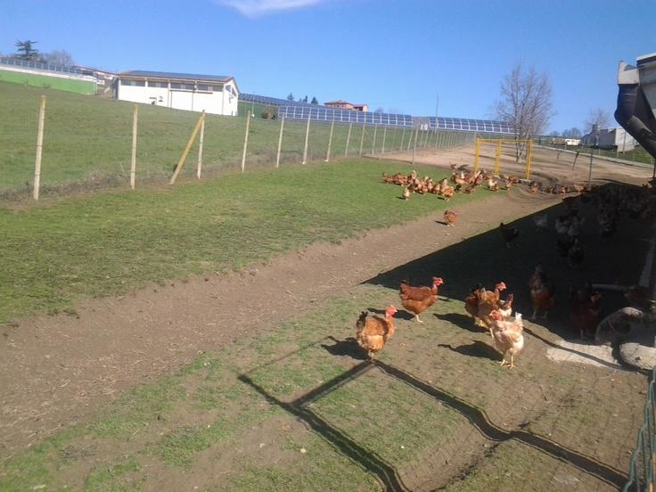 Polli e galline del Il Tonchese, l'azienda della famiglia Artuffo