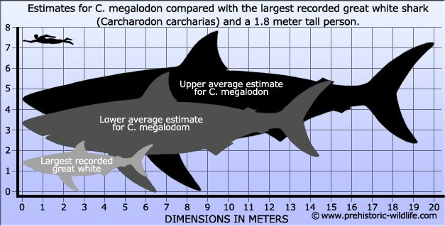 Megalodon compared to a Great White Shark and a human ...