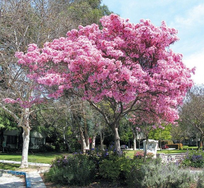 Pink trumpet tree (Handroanthus impetiginosus). -- Courtyard tree-- two of them on N & S ends of Courtyard?
