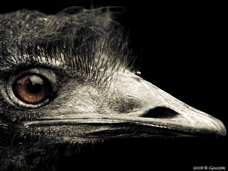 L'émeu d'Australie, un oiseau énorme et un coureur hors pair