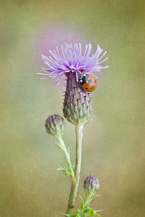Thistle lady by Jacky Parker, Thistle close up