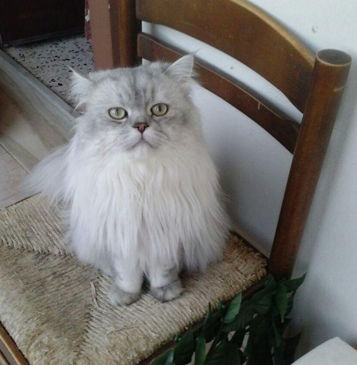 Romeo gatto persiano chinchilla silver shaded sulla sedia. (12 mesi) #persiancat