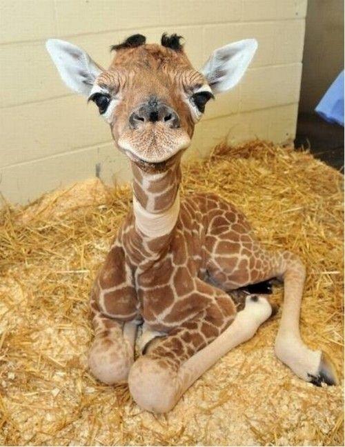 Baby giraffe! :)