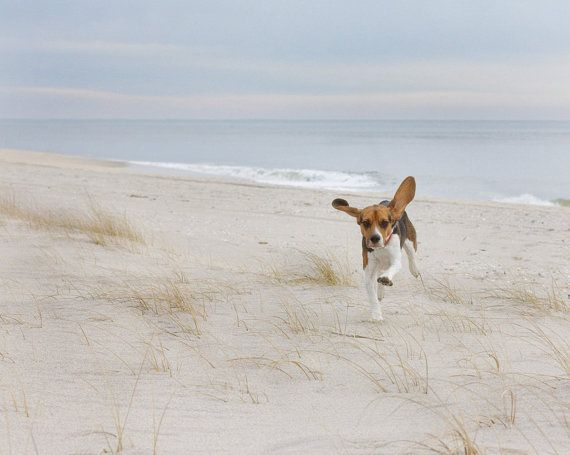Airborne Beagle -  hound, dog, beagle, beach, animal,  canine, happy Fine Art Photographic Print on Etsy, $23.63 CAD