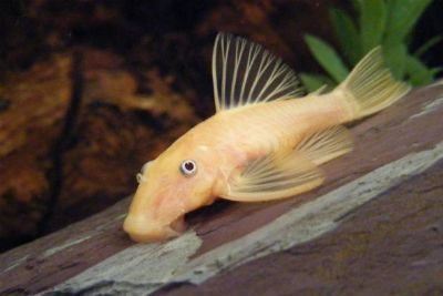 1 x Albino Bristlenose 5cm  Not available instore! Online orders only! This fish is from Majestic's secret stash!   PRICE-25 $