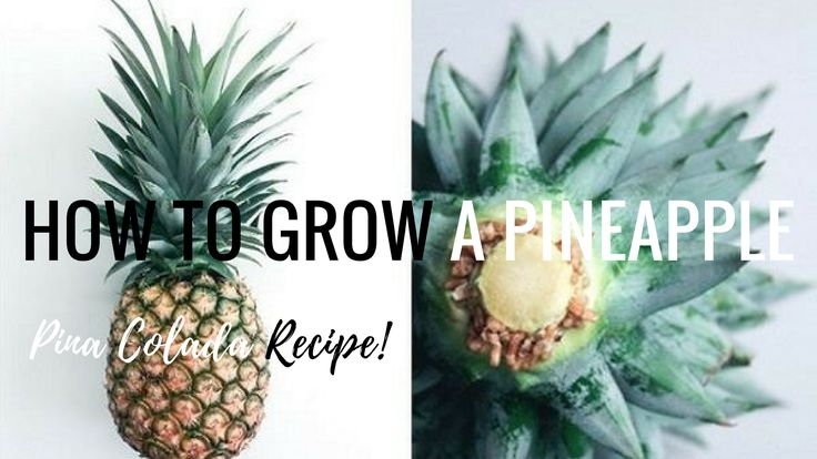 From eating to growing your very own pineapple plant at home. http://www.organicgypsy.co.za  First we made a virgin Pina Colada recipe. Only two ingredients: 1 x scooped out pineapple 1/4 cup coconut cream  How to grow a pineapple plant from home? First, twist the top of the pineapple off. Remove some of the leaves and place in a glass jar with water. When the roots start to grow after a few weeks. Transfer to soil that drains easily. Sandy soil. Soil such as a Bromeliad or Cactus Potting…