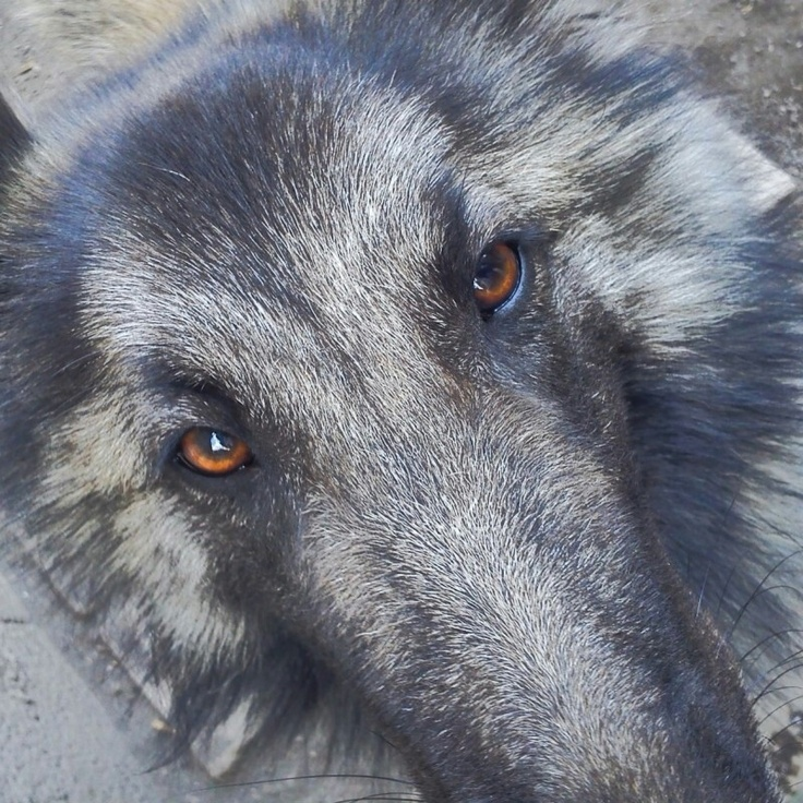 #Dog #Pastore Belga :-)