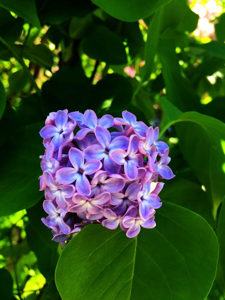 My favorite lilac