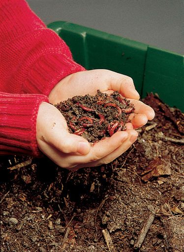 Red Wiggler Worms - for the compost