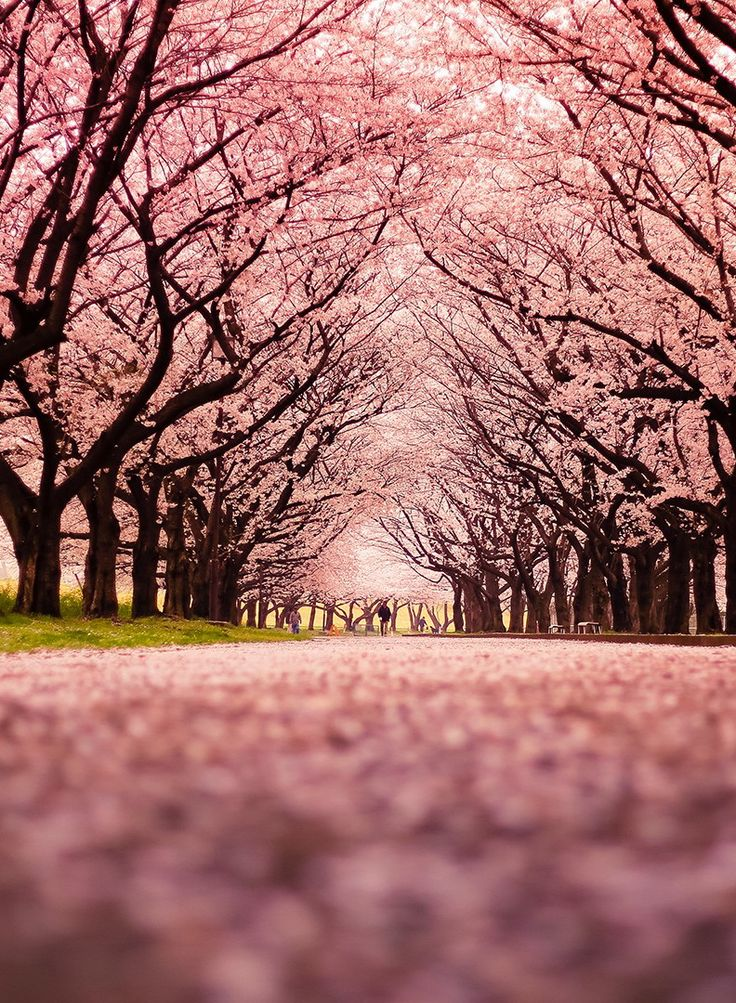 Cherry Blossom Wallpaper Hd Cerejeiras Jap 227 O Wallpaper Papeis De Parede Para