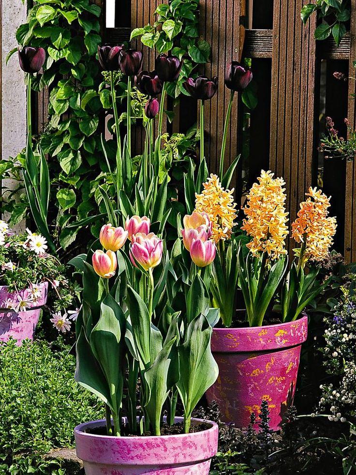 Tulpen (vorne) und Hyazinthen (hinten) gedeihen bestens in Töpfen. Man kann die Blumenzwiebeln auch im Schichtsystem pflanzen. In frische Erde kommen zuerst Kaiserkronen, darüber botanische Tulpen und als letzte Schicht Krokusse und Schneeglöckchen. So blüht alles wunderbar lange. Wer die Pflanzzeit im Herbst verpasst hat, kann sich jetzt bereits blühende Ware aus dem Gartencenter auf den eigenen Balkon holen.